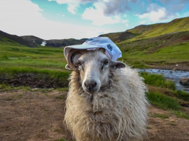 Goat wearing UNC-CH hat